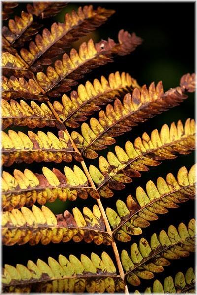 Cinnamon fern - Osmonde cannelle