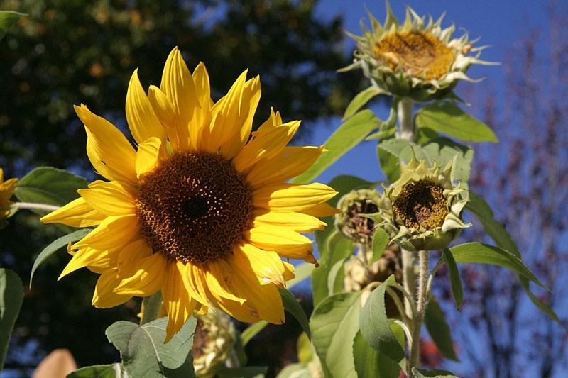 Sunflowers - Tournesols