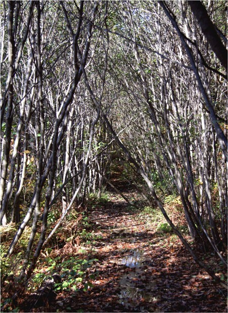 Path under mountain alders