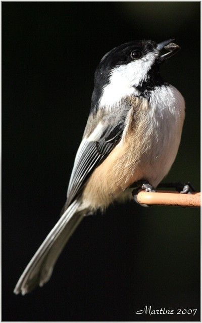 Black-caped chickadee