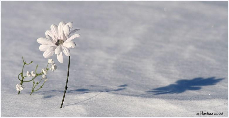 Flowers on snow 2 - Des fleurs sur la neige 2