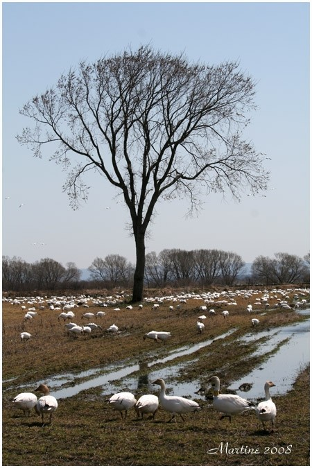 Field of gooses - Champ d'oies