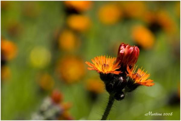 Orange hawkweed - épervière orangée