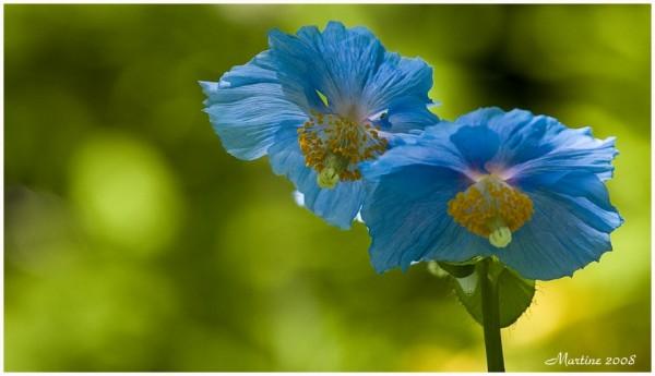 Meconopsis - pavot bleu