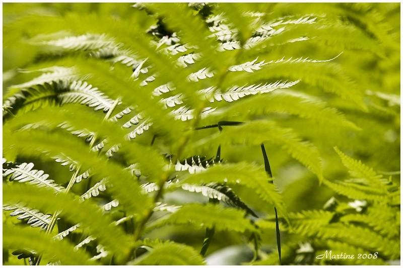 Lights ferns - Légères fougères