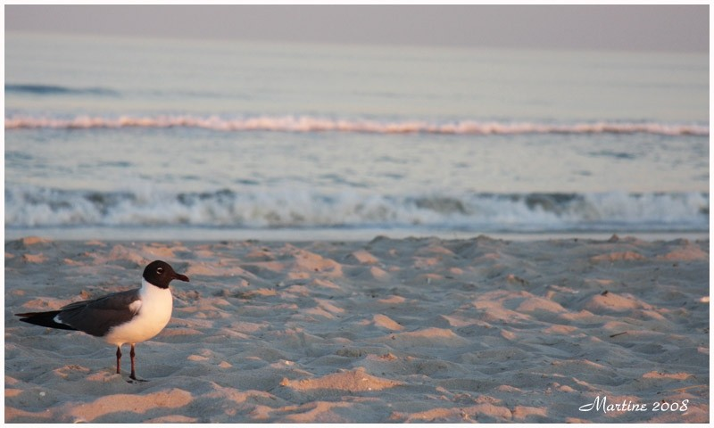 Laughing gull - Mouette rieuse