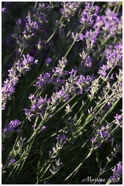 Lavender - Lavande