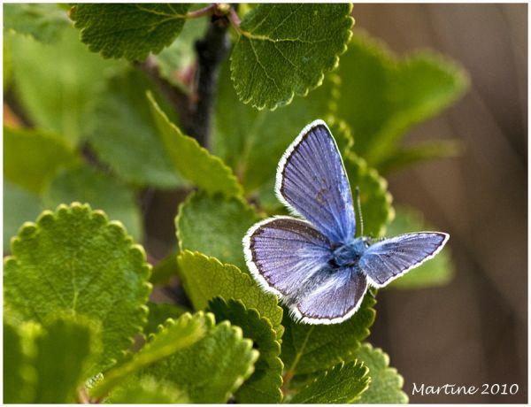 Eastern Tailed Blue - Bleu porte-queue de l'est