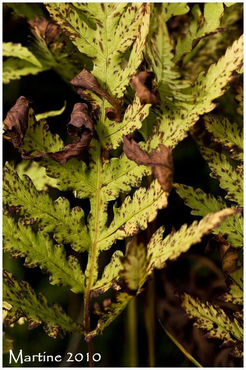 Sensitive fern - onoclée sensible