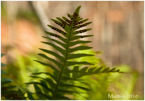 Rock Cap fern again...