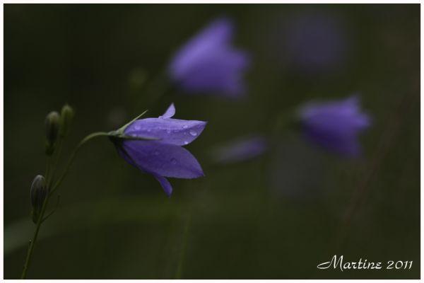 Flore du Québec - Québec's flora