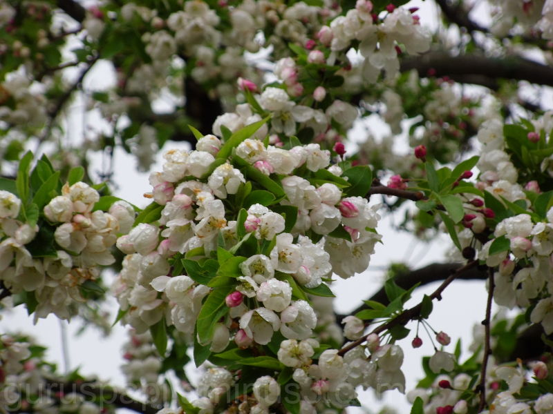 flowering white flower tree