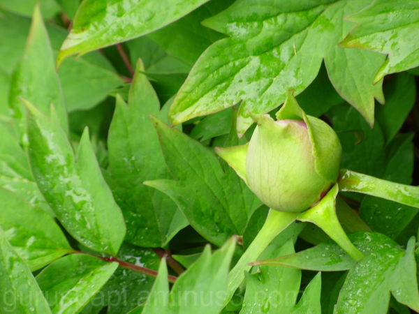 Chinese tree peony, flower bud.