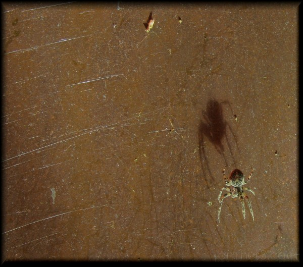 Arachnidae