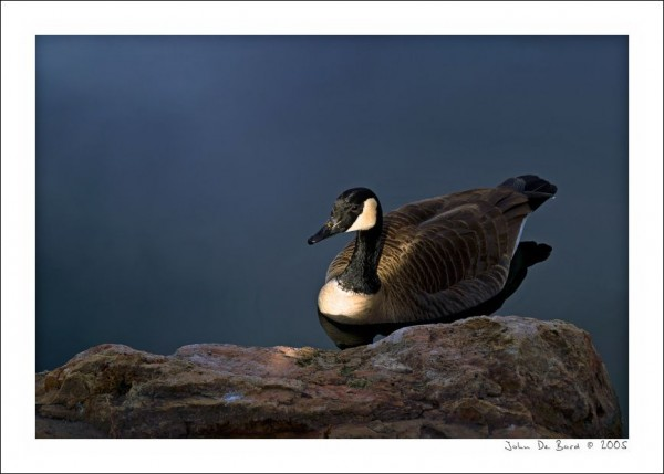 Canadian Goose photographed on a Minolta 5D