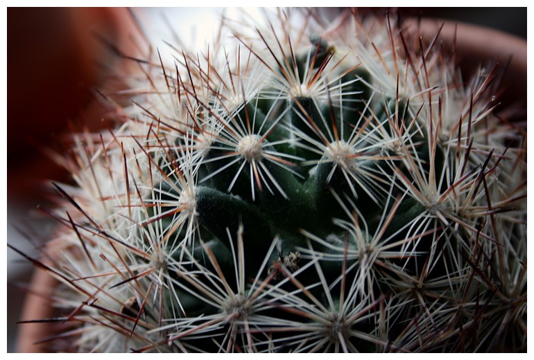Bulb Cactus