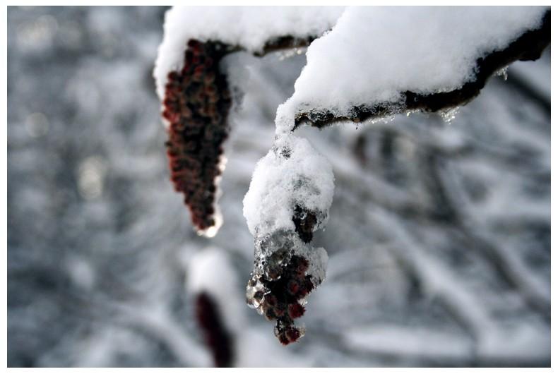Snow Berries Wint3r