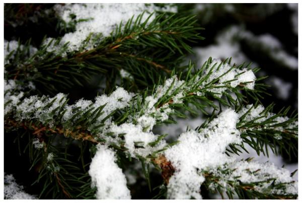Pine Tree Wint3r
