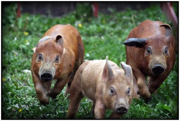 Sever's Pig Race