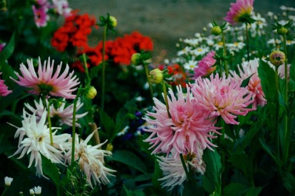 Chrysanthemum Nod.