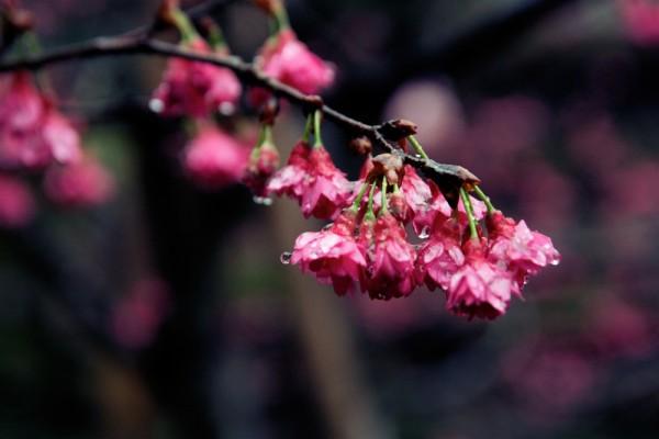 Taiwan no Sakura