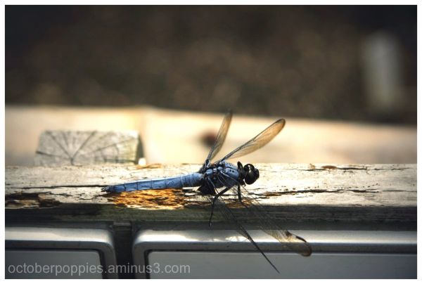 My First Dragonfly