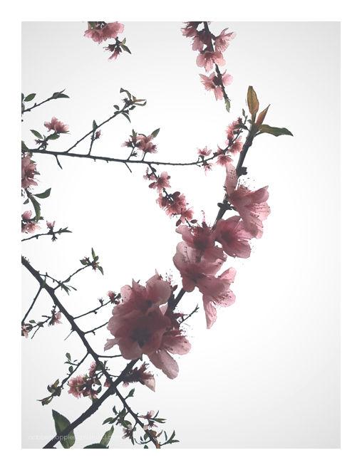 Sunnyvale Sakura