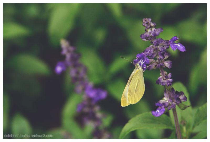 兩支紫花蝶夢美