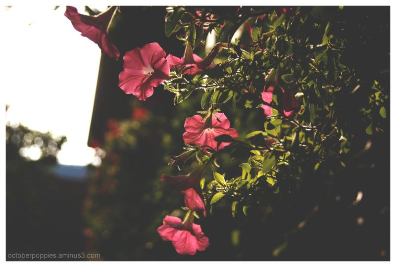 evening petals