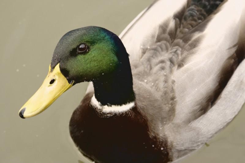 Duck Duck .....