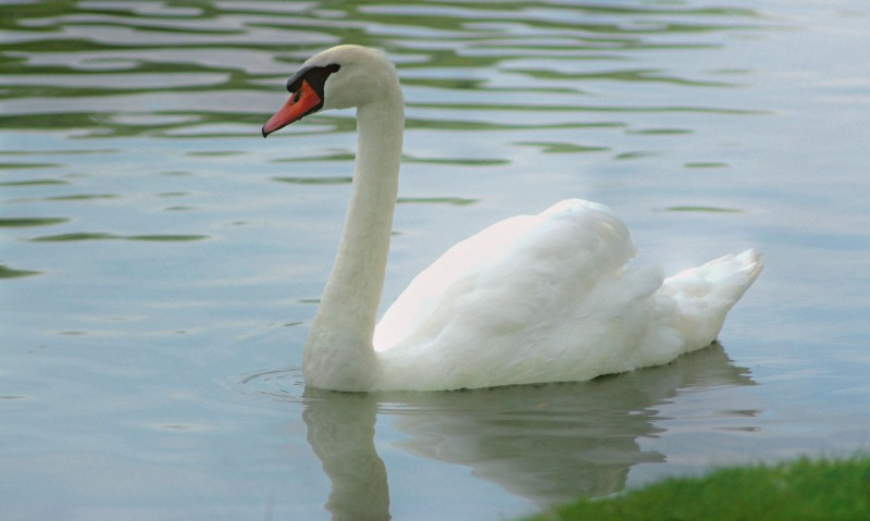 The Dreamy Swan
