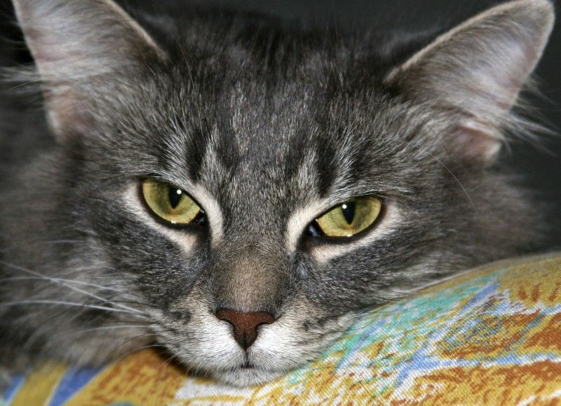 Dyson the Cat