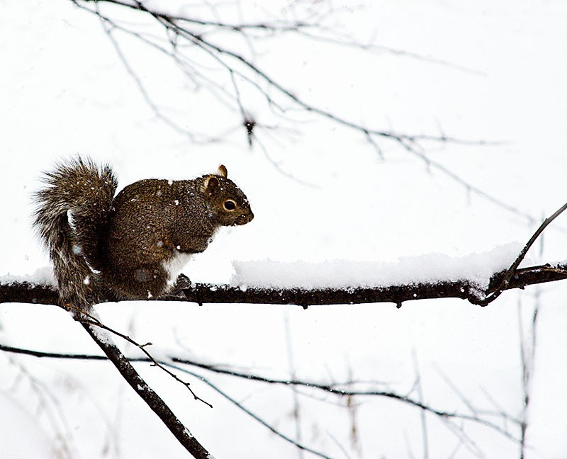 Squirrel sitting on a branch in the snow.