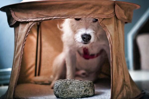 My Dog in his Arabian Night Tent