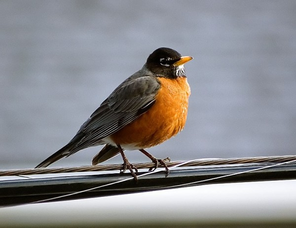Robin Sitting on a Wire