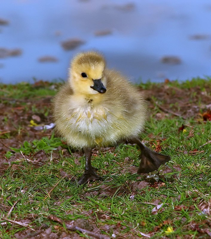 Gosling Doing a Happy Dance