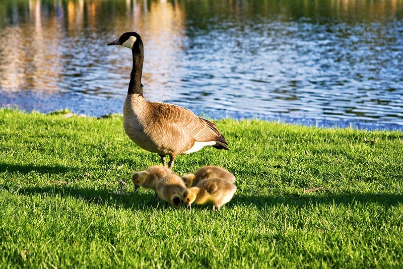 Mother Goose and Her Kids
