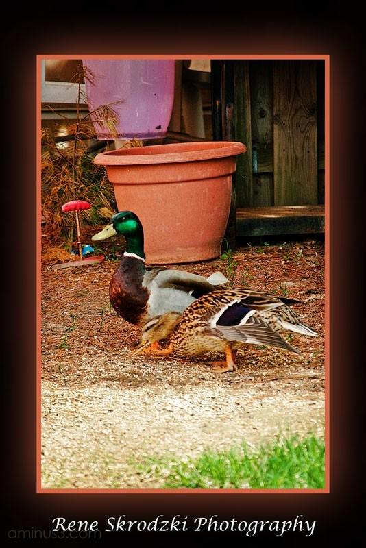 A couple of Odd Ducks