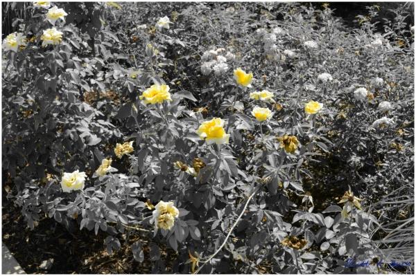 Selective Coloring using my Nikon D5100