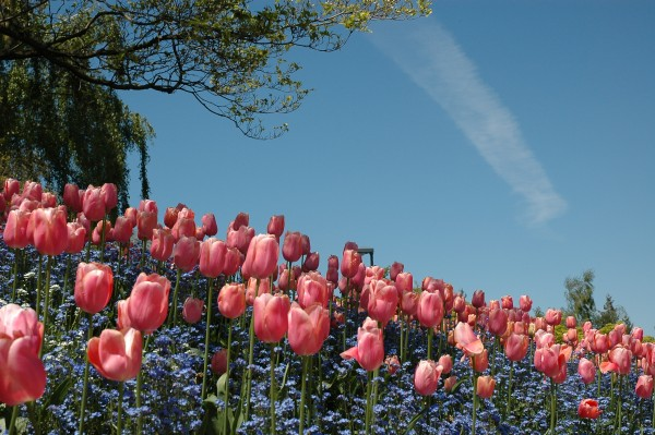 Tulips, Photography, Vancouver