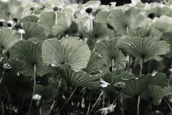 Lotus pond 5