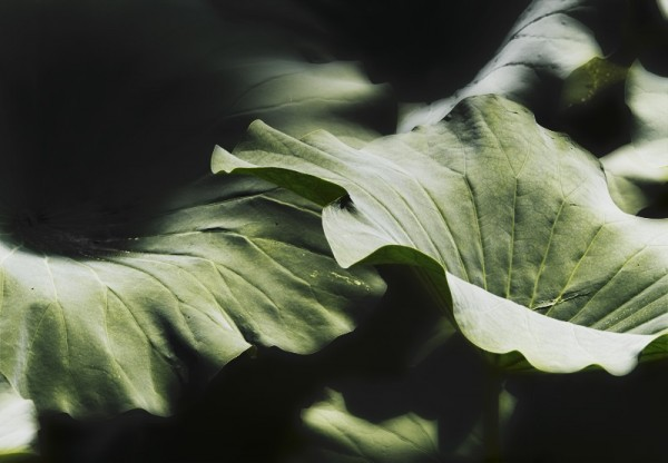 Lotus leaf detail