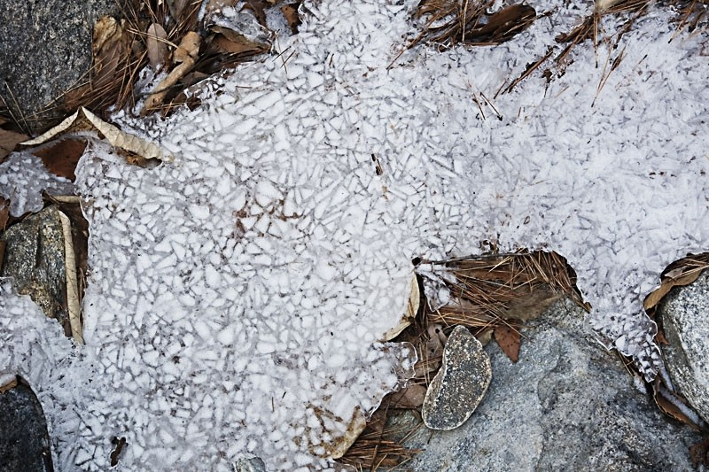 Pine needles frozen in the ice