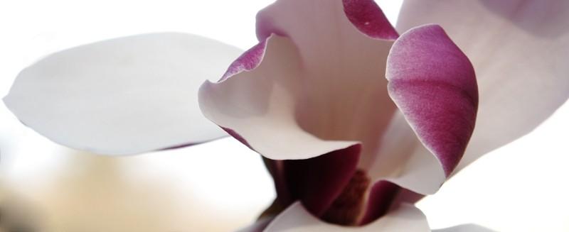 Magnolia blossom, detail