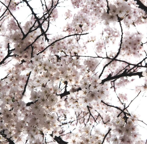 Cherry blossoms, seoul korea