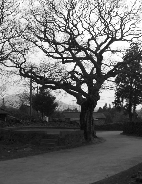 Village tree, Jeju, Korea