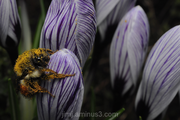 a bee covered in pollen on a crocus flower