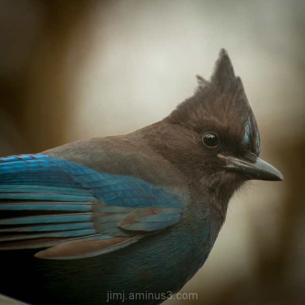 Sellar's Jay in our yard Portland Oregon