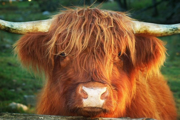 Cow Hairstyle !