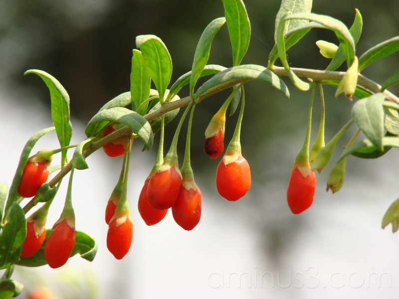 Goji Berries - Ningxia, China